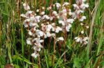 Pyrola rotundifolia ssp. maritima